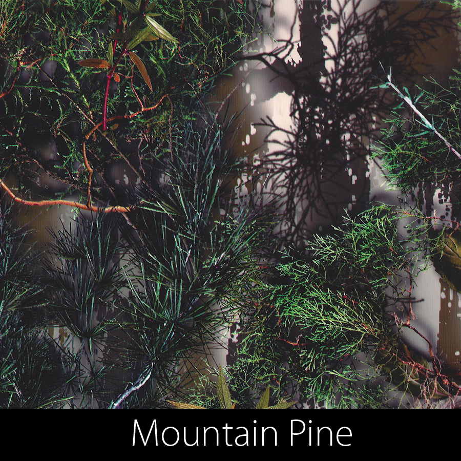 http://kidsgameon.com/wp-content/uploads/2016/10/Mountain-pine.jpg